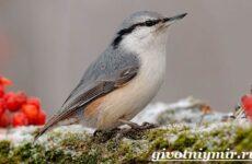 Поползень птица. Среда обитания и образ жизни поползня