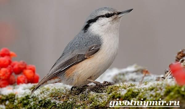 Поползень-птица-Среда-обитания-и-образ-жизни-поползня-1