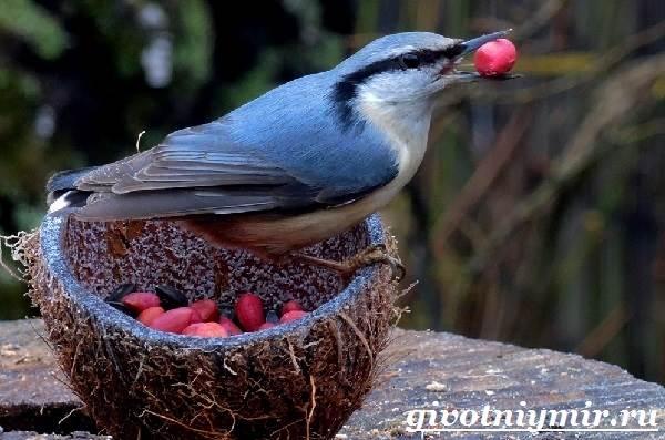 Поползень-птица-Среда-обитания-и-образ-жизни-поползня-4