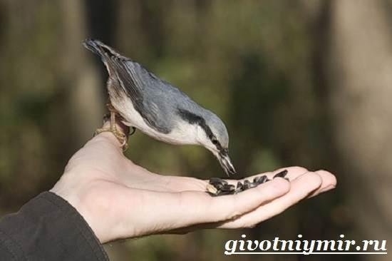 Поползень-птица-Среда-обитания-и-образ-жизни-поползня-5