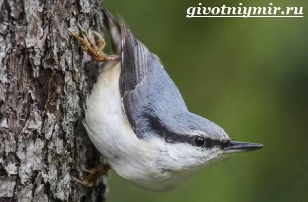 Поползень-птица-Среда-обитания-и-образ-жизни-поползня-6