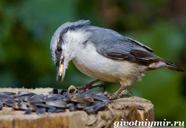 Поползень-птица-Среда-обитания-и-образ-жизни-поползня-7