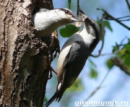 Поползень-птица-Среда-обитания-и-образ-жизни-поползня-9