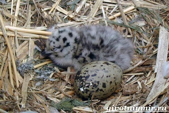 Птица-чайка-Образ-жизни-и-среда-обитания-чайки-12