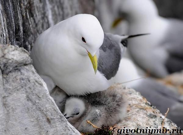 Птица-чайка-Образ-жизни-и-среда-обитания-чайки-13
