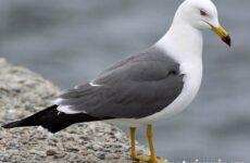 Птица чайка. Образ жизни и среда обитания чайки