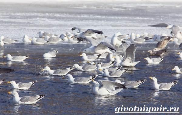 Птица-чайка-Образ-жизни-и-среда-обитания-чайки-4