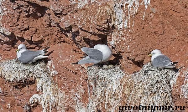 Птица-чайка-Образ-жизни-и-среда-обитания-чайки-5