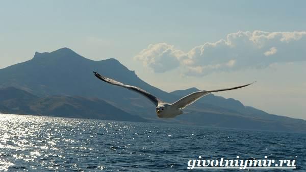 Птица-чайка-Образ-жизни-и-среда-обитания-чайки-6