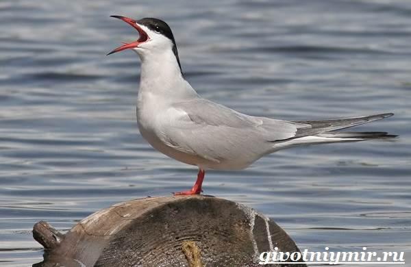 Птица-чайка-Образ-жизни-и-среда-обитания-чайки-7