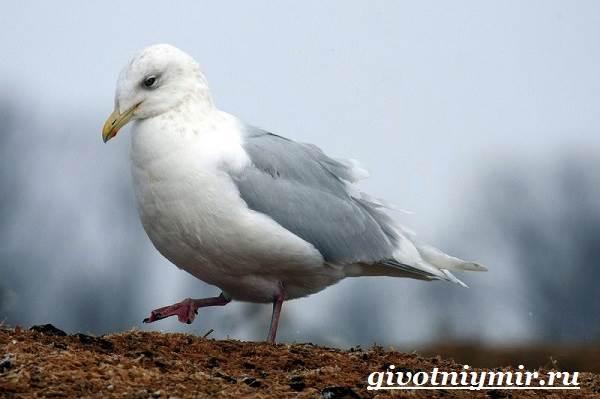 Птица-чайка-Образ-жизни-и-среда-обитания-чайки-8