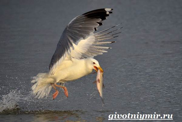 Птица-чайка-Образ-жизни-и-среда-обитания-чайки-9