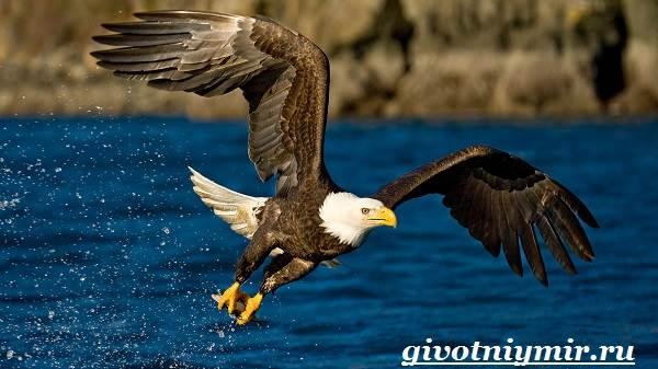 Птица-орел-Образ-жизни-и-среда-обитания-орла-1