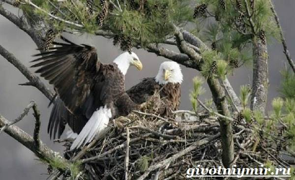 Птица-орел-Образ-жизни-и-среда-обитания-орла-10