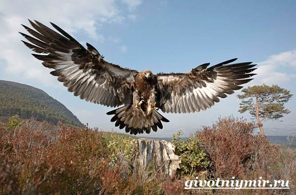 Птица-орел-Образ-жизни-и-среда-обитания-орла-3
