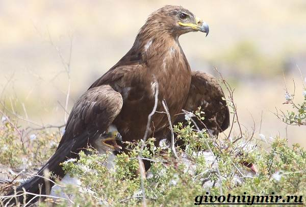 Птица-орел-Образ-жизни-и-среда-обитания-орла-5