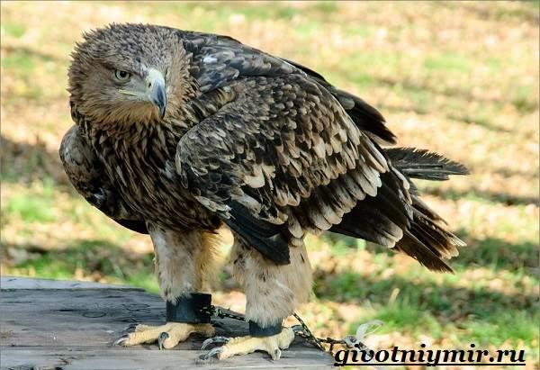 Птица-орел-Образ-жизни-и-среда-обитания-орла-6