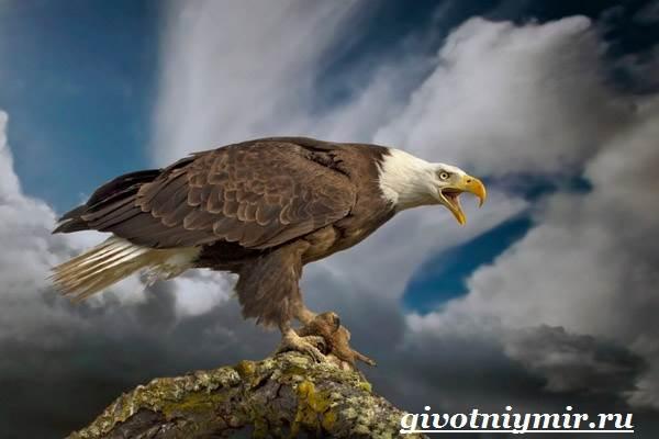 Птица-орел-Образ-жизни-и-среда-обитания-орла-7