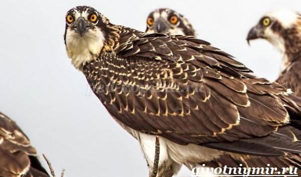Птица-орел-Образ-жизни-и-среда-обитания-орла-8