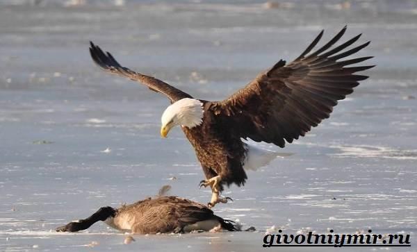 Птица-орел-Образ-жизни-и-среда-обитания-орла-9
