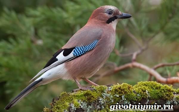 Сойка птица фото фото 711-573
