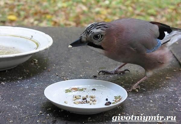 Сойка-птица-Образ-жизни-и-среда-обитания-сойки-11