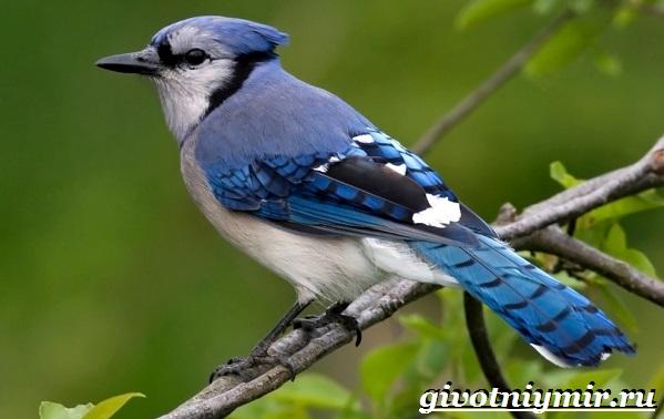Сойка-птица-Образ-жизни-и-среда-обитания-сойки-10