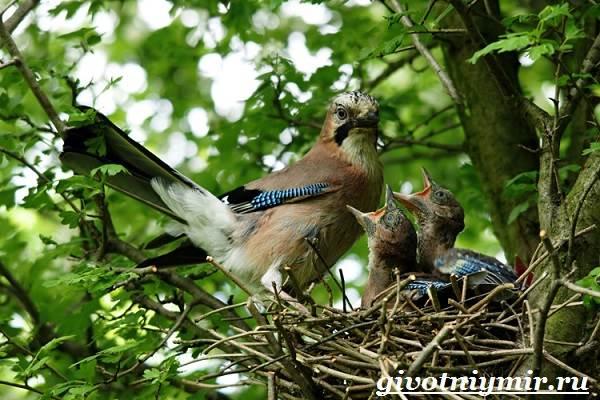 Сойка-птица-Образ-жизни-и-среда-обитания-сойки-12