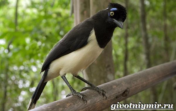 Сойка-птица-Образ-жизни-и-среда-обитания-сойки-13-1