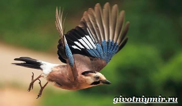 Сойка птица фото фото 711-444