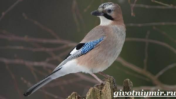 Птица сойка (55 фото): как выглядит гнездо и птенец, чем питается украшенная пересмешница, перелетная родственница, где может жить в природе, описание, видео