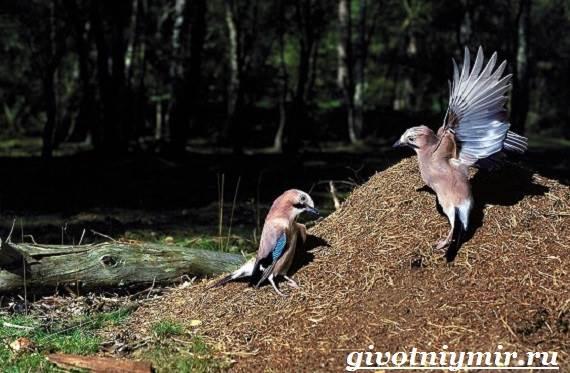 Сойка-птица-Образ-жизни-и-среда-обитания-сойки-7