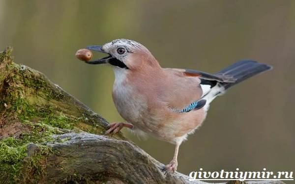 Сойка-птица-Образ-жизни-и-среда-обитания-сойки-9