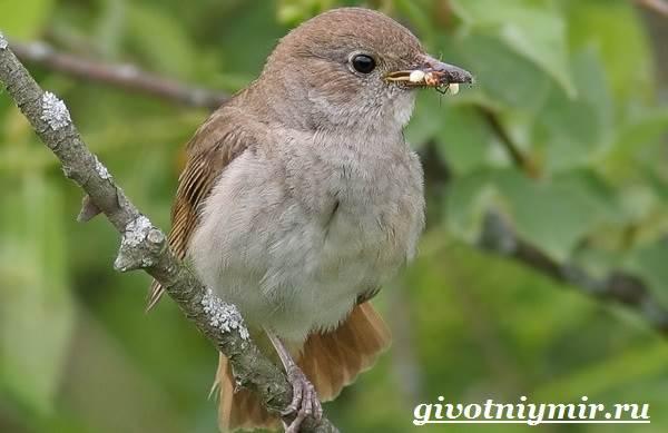 Соловей-птица-Образ-жизни-и-среда-обитания-соловья-2