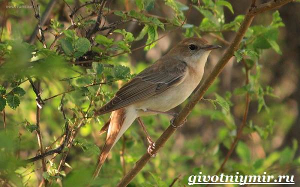 Соловей-птица-Образ-жизни-и-среда-обитания-соловья-3