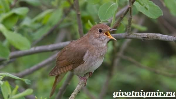 Соловей-птица-Образ-жизни-и-среда-обитания-соловья-4