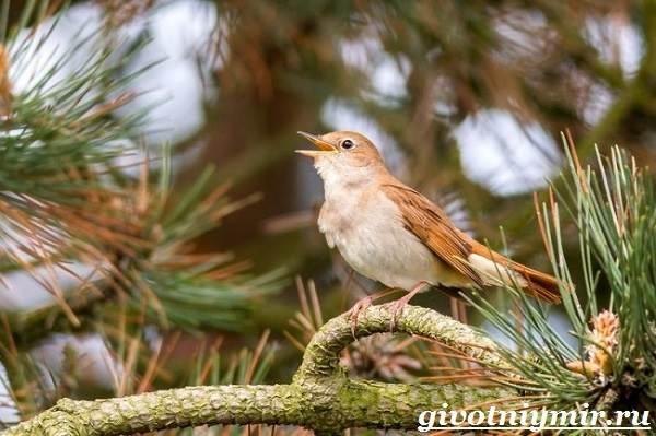 Соловей-птица-Образ-жизни-и-среда-обитания-соловья-5