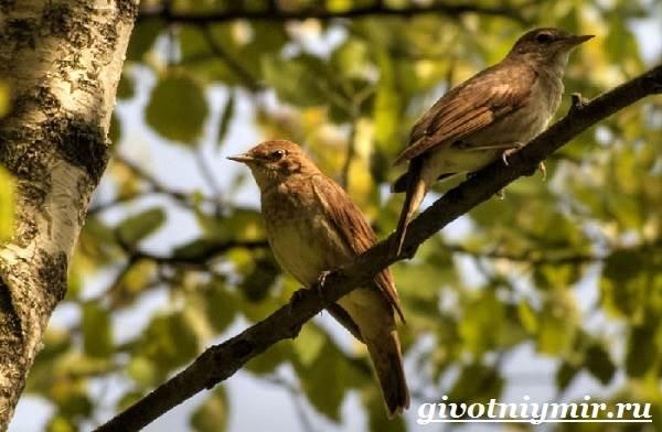 Соловей-птица-Образ-жизни-и-среда-обитания-соловья-8