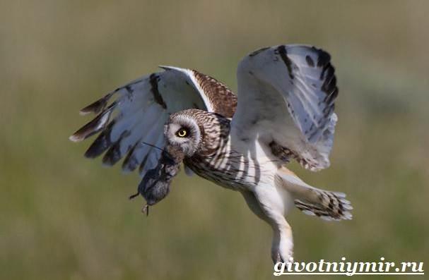 Сова-птица-Образ-жизни-и-среда-обитания-совы-10
