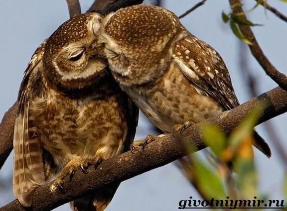 Сова-птица-Образ-жизни-и-среда-обитания-совы-11