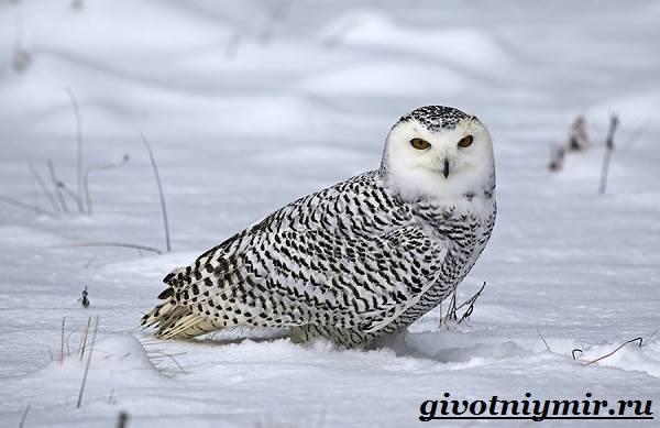 Сова-птица-Образ-жизни-и-среда-обитания-совы-13