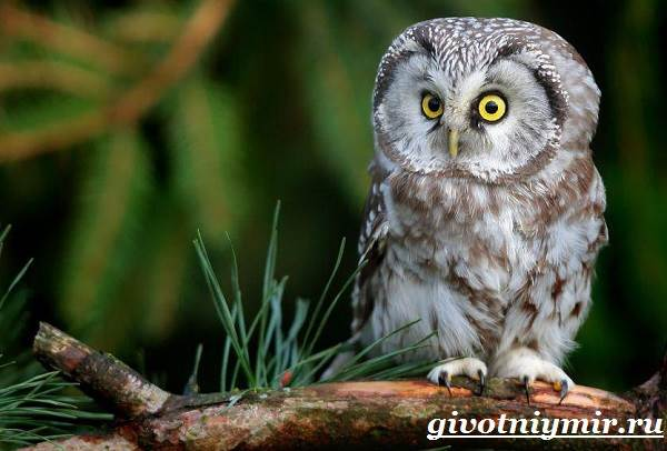 Сова-птица-Образ-жизни-и-среда-обитания-совы-2