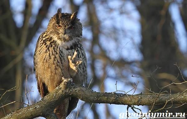 Сова-птица-Образ-жизни-и-среда-обитания-совы-4
