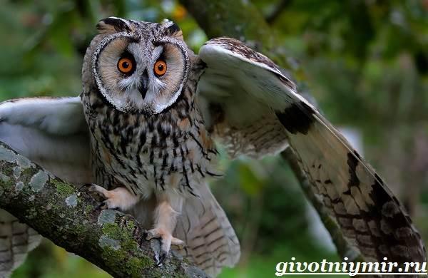 Сова-птица-Образ-жизни-и-среда-обитания-совы-5