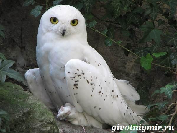 Сова-птица-Образ-жизни-и-среда-обитания-совы-7