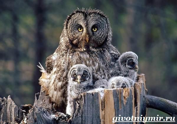 Сова-птица-Образ-жизни-и-среда-обитания-совы-8