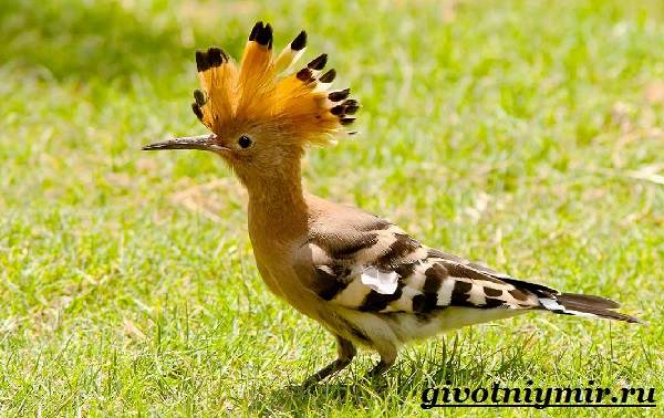 Удод-птица-Среда-обитания-и-образ-жизни-удода-1