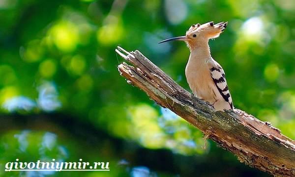 Удод-птица-Среда-обитания-и-образ-жизни-удода-10