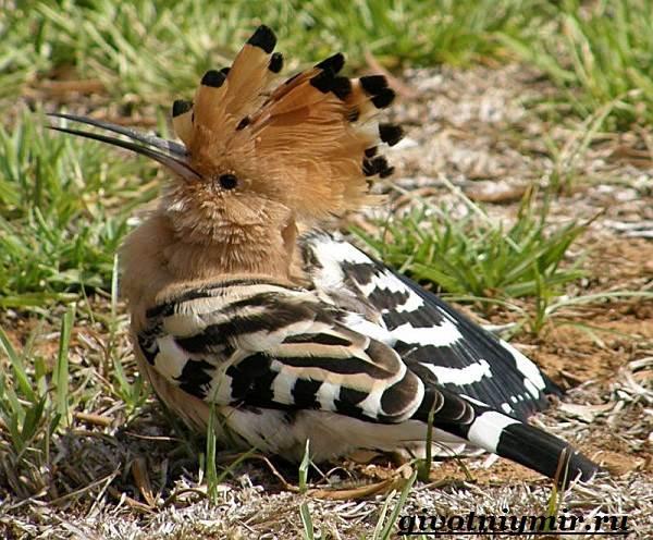 Удод-птица-Среда-обитания-и-образ-жизни-удода-3