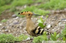 Удод птица. Среда обитания и образ жизни удода